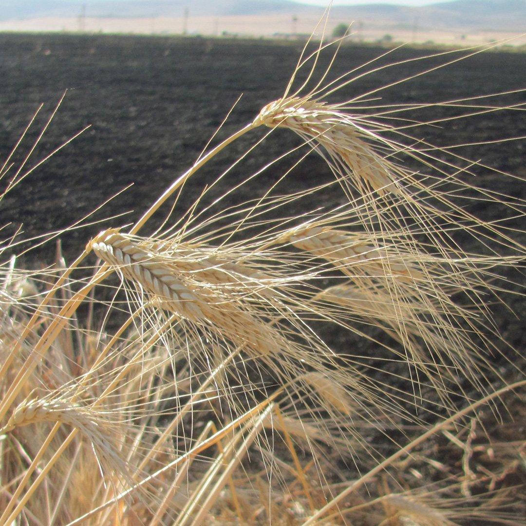 50 Dönüm Buğday Kül Oldu