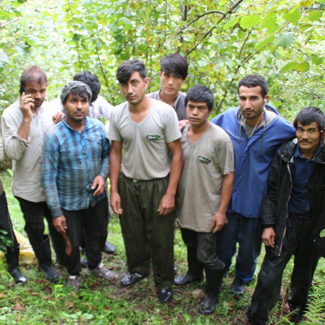 Afgan göçmenler Karadeniz'de fındık ve çay topluyor