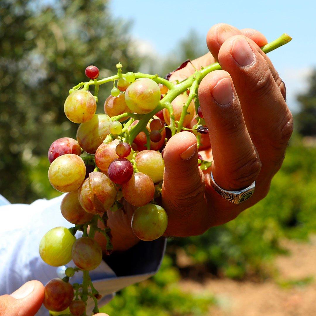 Gaziantepli çiftçiler üzüm hasadı için gün sayıyor