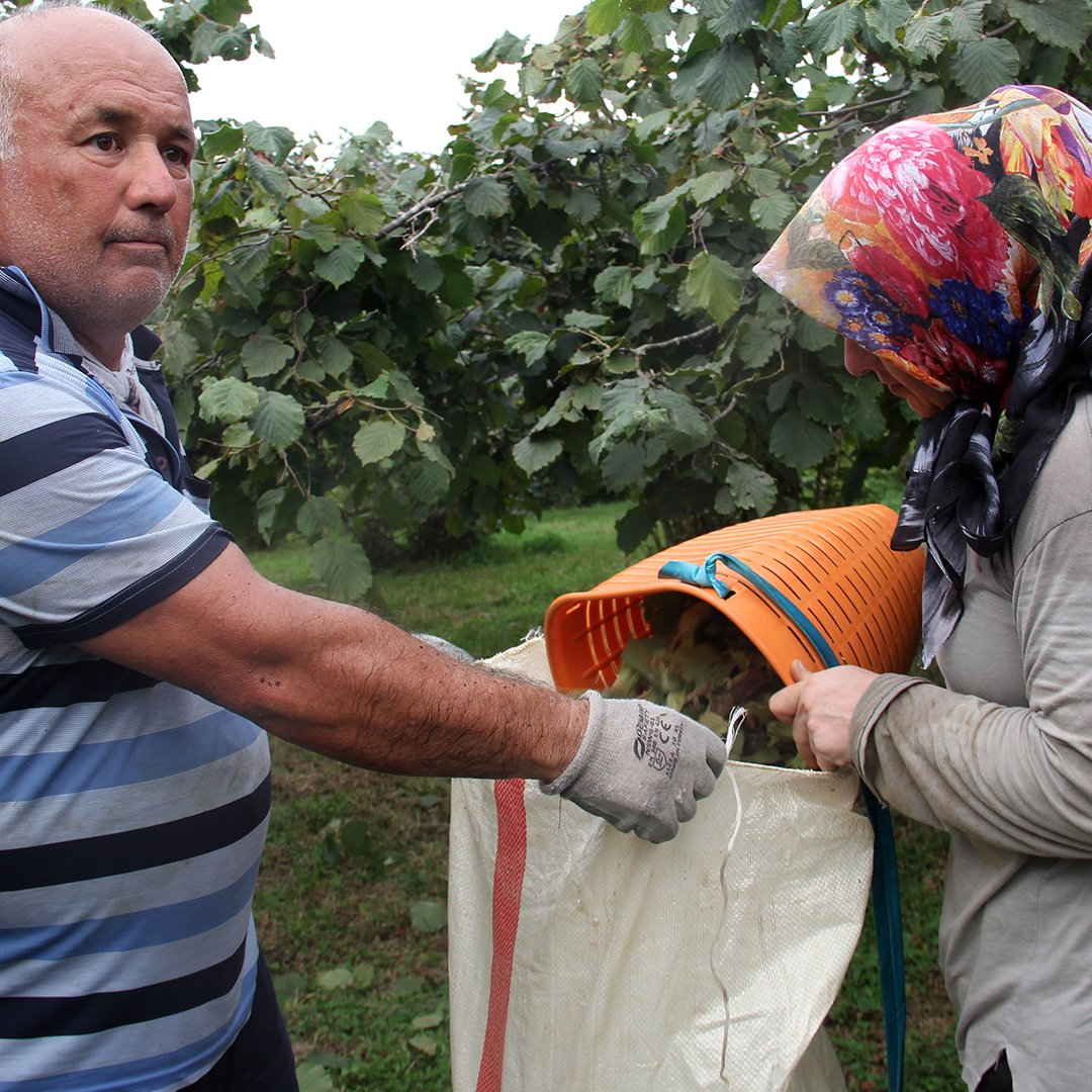 Giresunlu fındık üreticileri hasat için bahçeye girdi