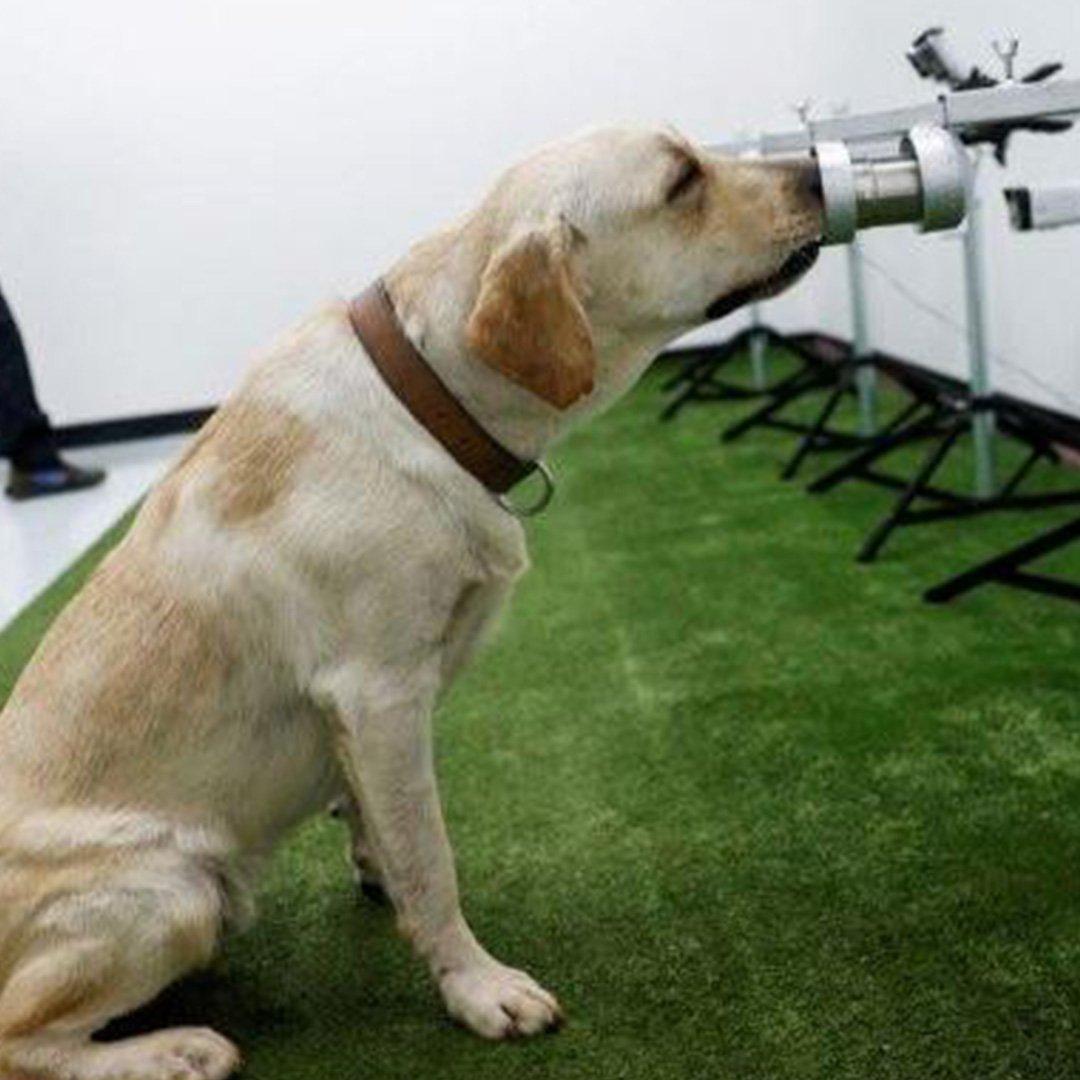 Köpekler Covid-19'un kokusunu alabiliyor