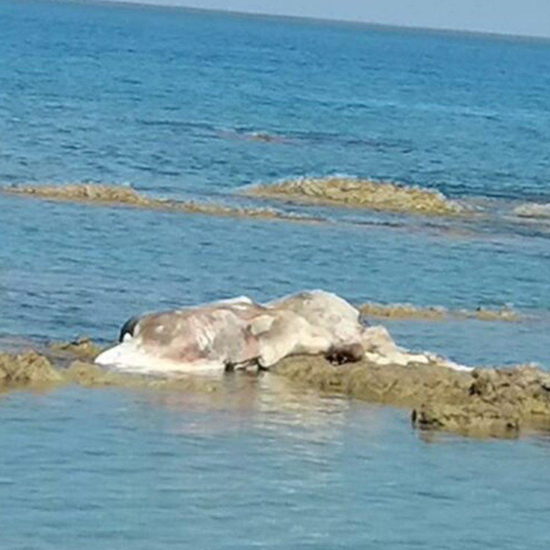 Sahile ölü anguslar vurdu