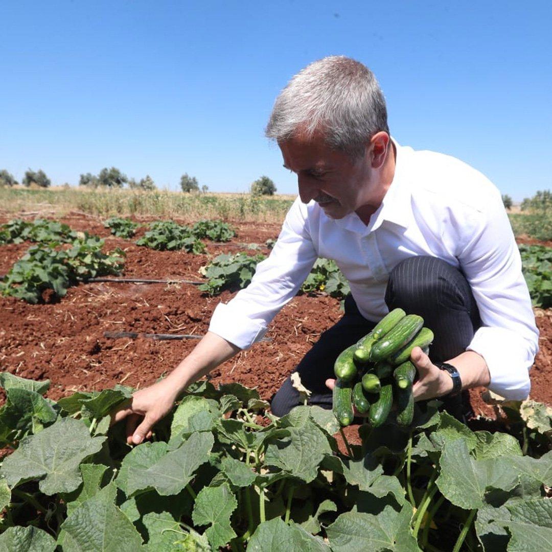 Tahmazoğlu, sebze fidelerinin hasadına katıldı
